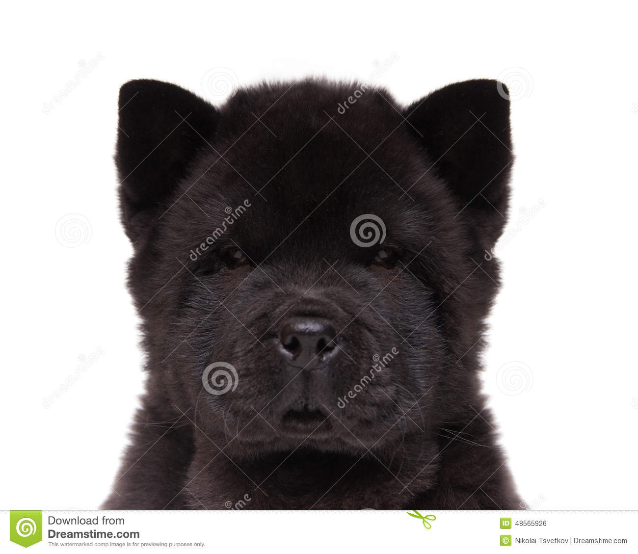 Black Chow Chow Puppy Stock Photo Image Of Background 48565926