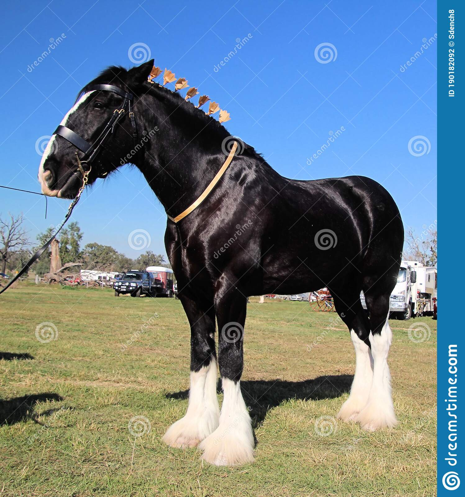 205 White Clydesdale Horse Photos Free Royalty Free Stock Photos From Dreamstime