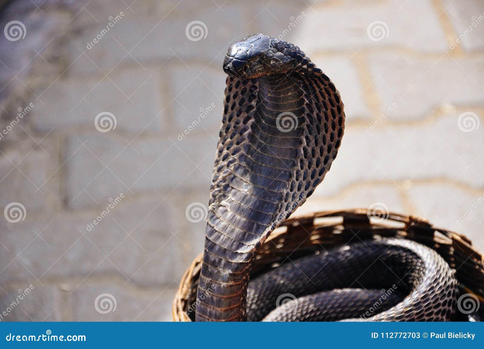 A black cobra in Jaipur, India.