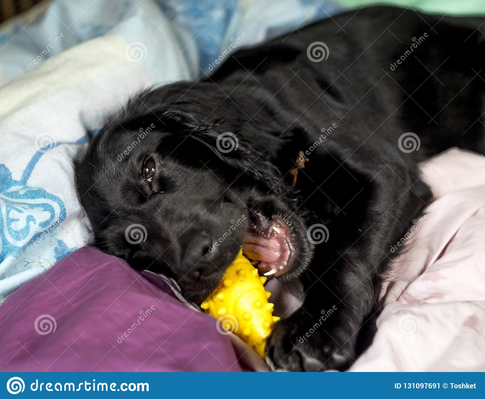 Black Cocker Spaniel Puppy Playing With Toy On His Litter Stock Image Image Of Single Beautifully 131097691
