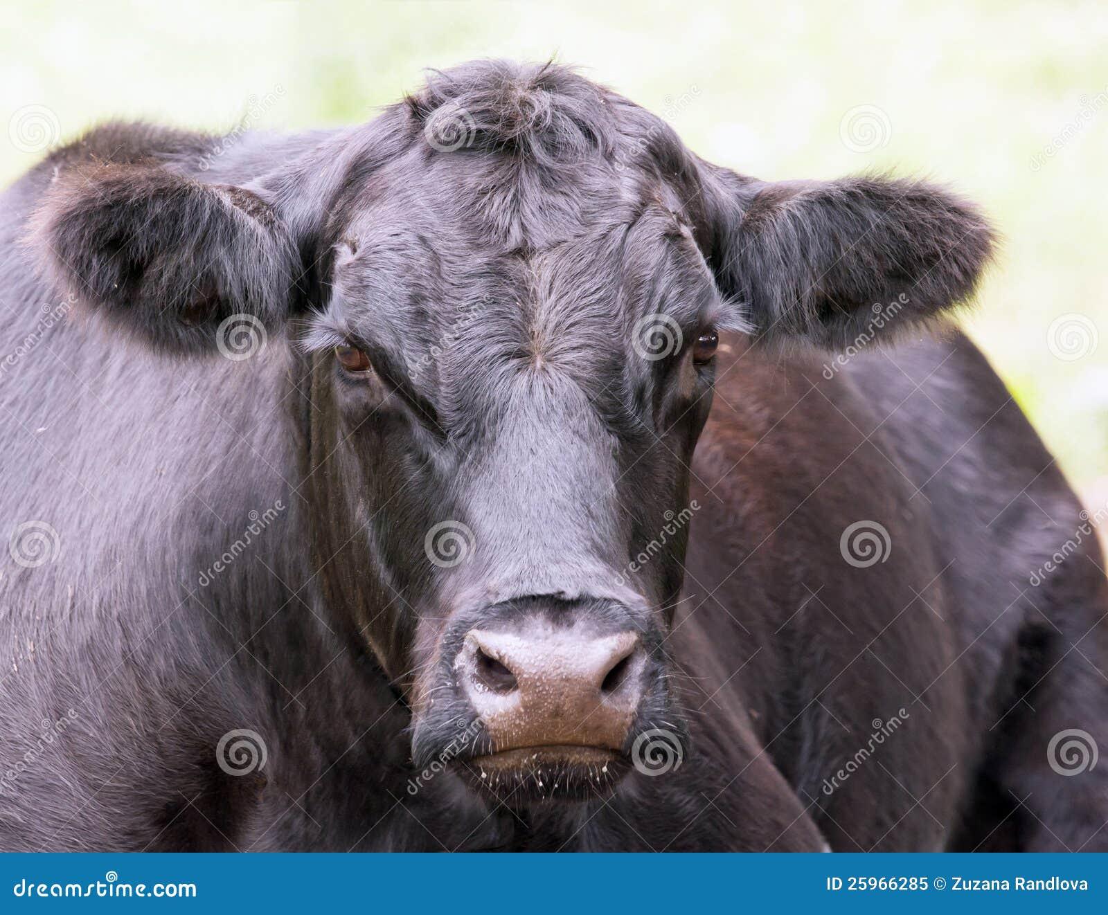 Black Cow Royalty Free Stock Photo - Image: 25966285