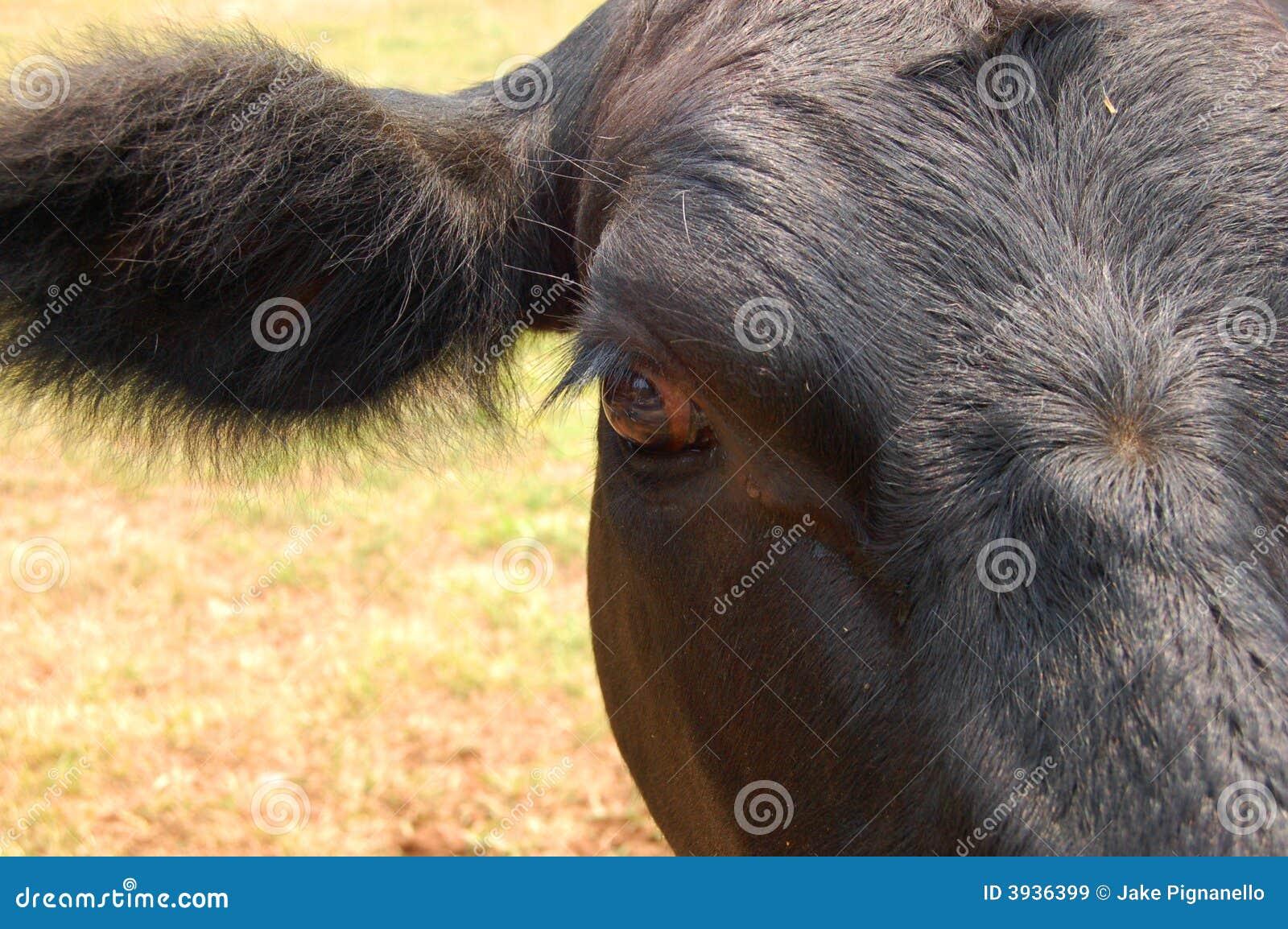 Black Cow ear and eye