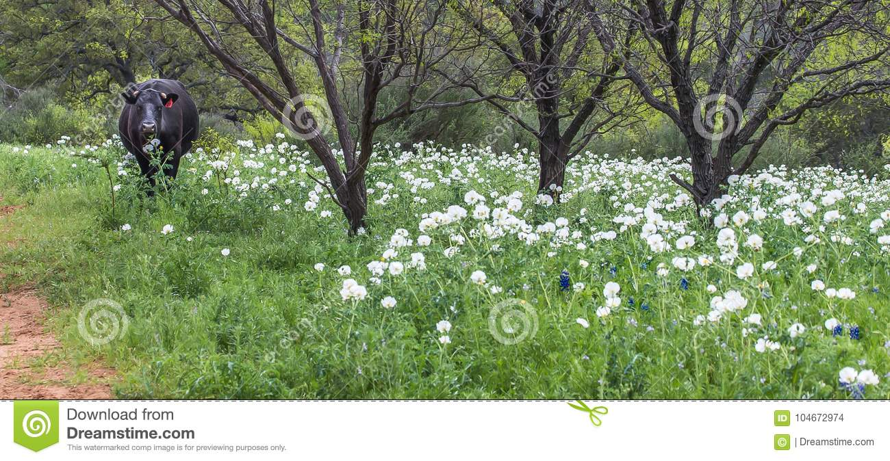 Black Cow Grazing In Field Of White Flowers Stock Photo Image Of