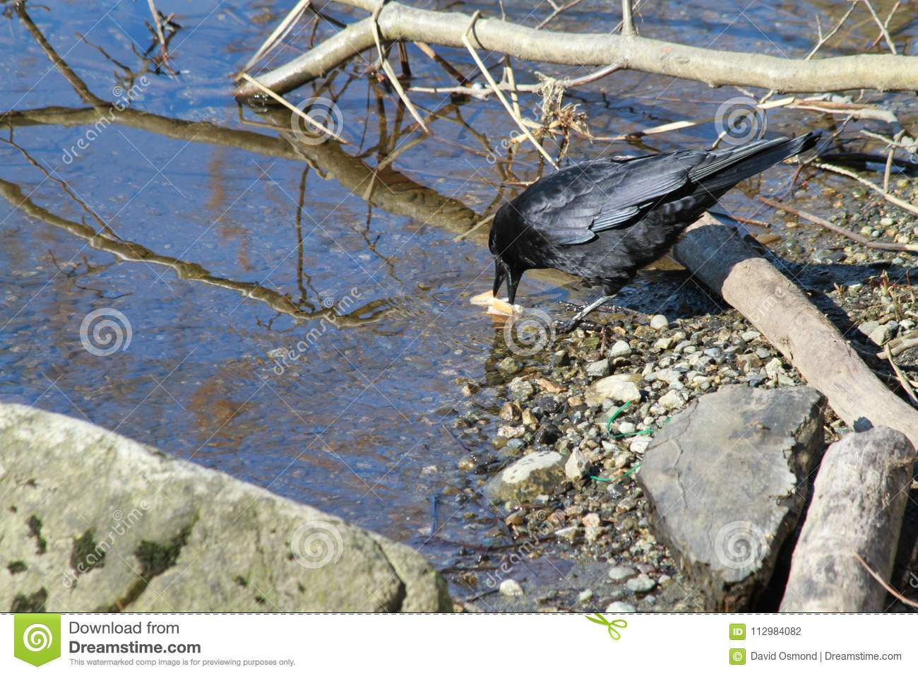 Black crow on the edge of a lake
