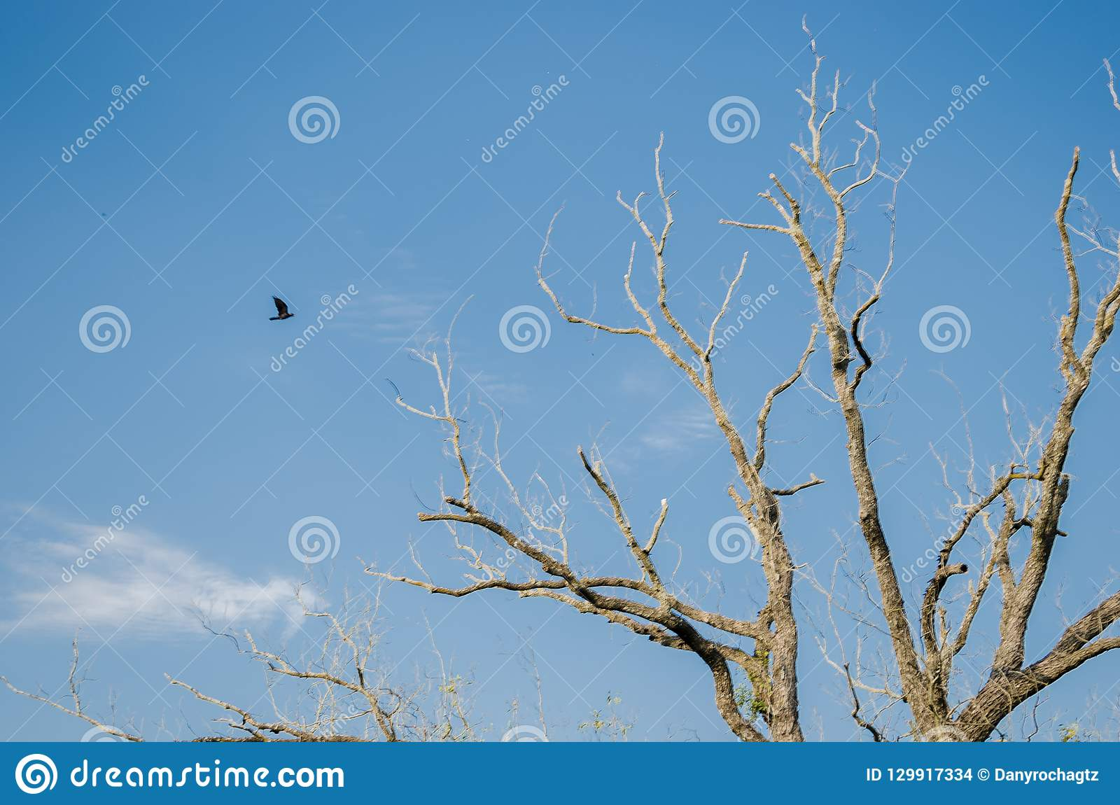 A black crow flying towards a large dry tree, background with a beautiful clear blue sky