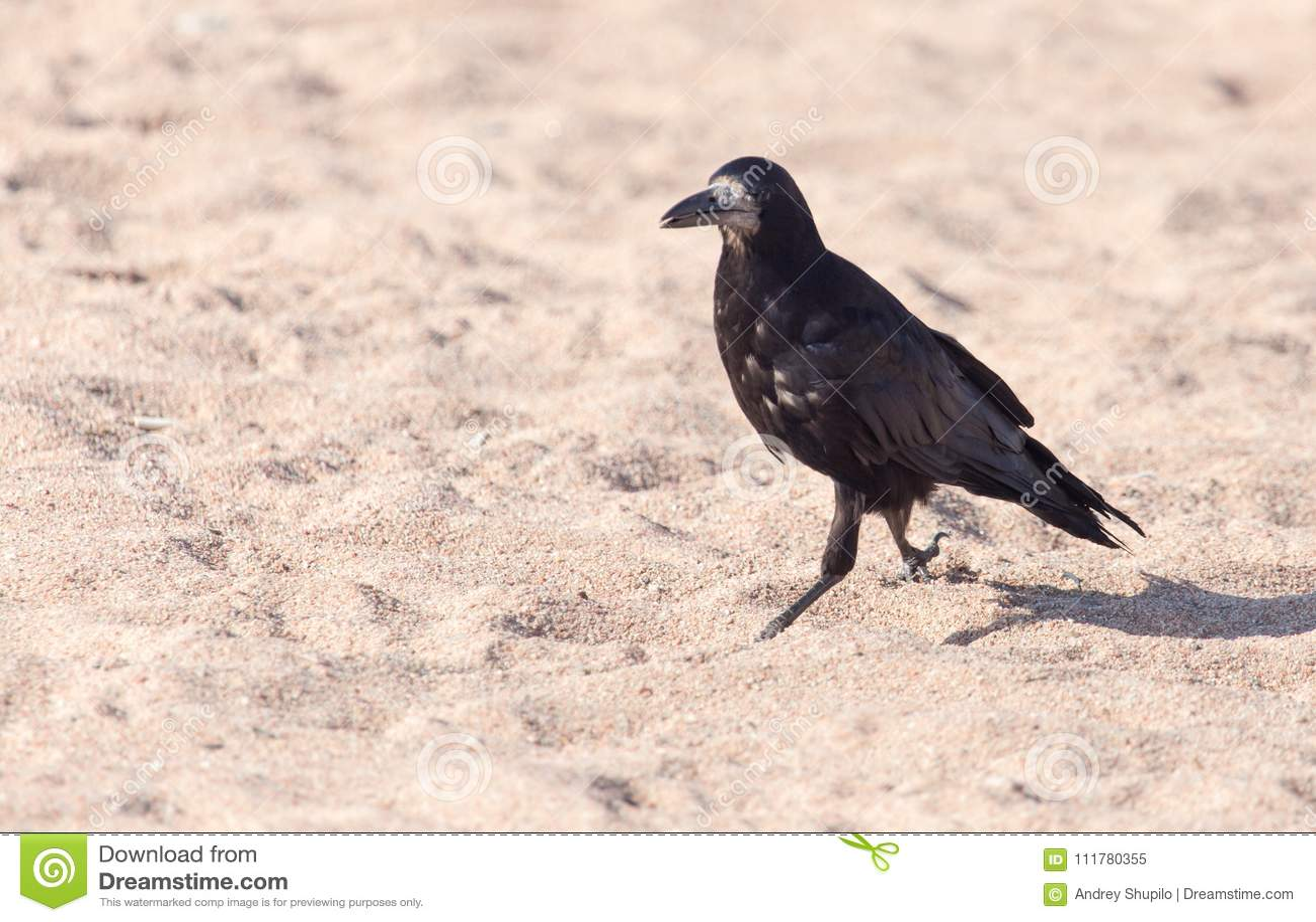 Black crow on the sand