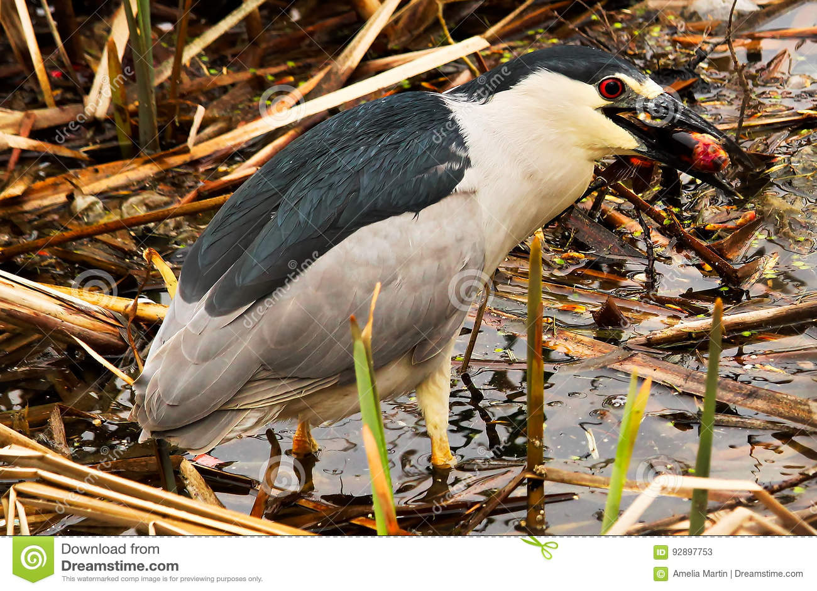 A Black Crown Night Heron eating a fish
