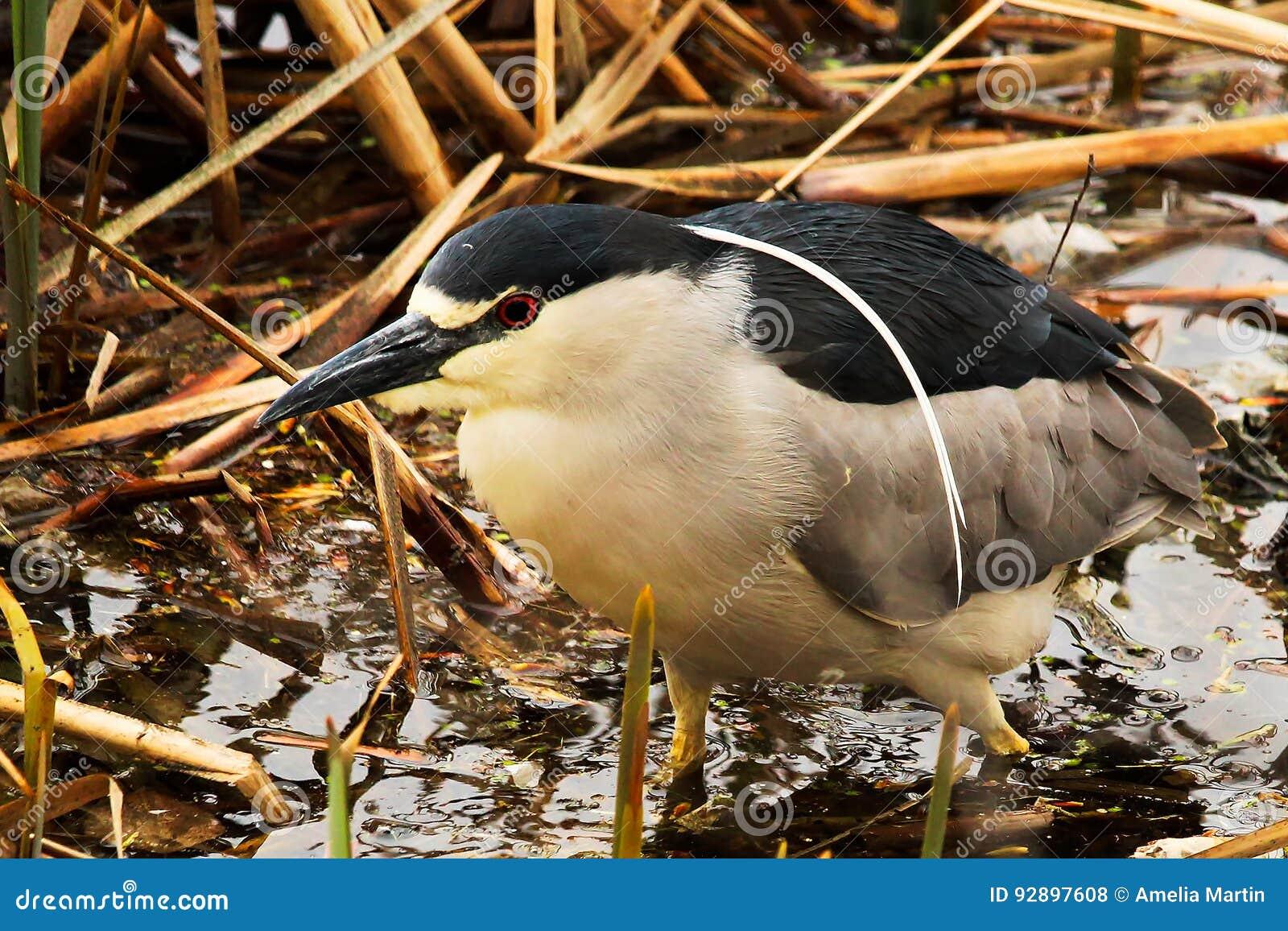 A Black Crown Night Heron walking along dried reeds