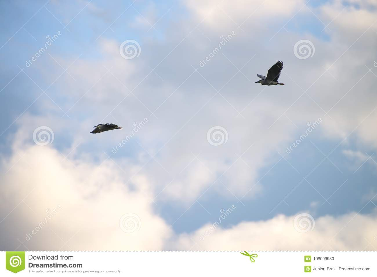 black crowned bird flying with sky as background stock photo image