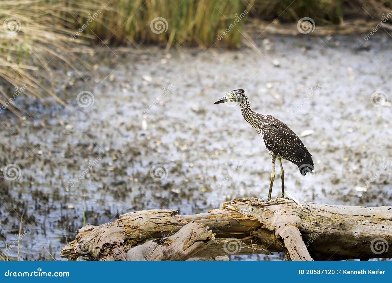 Black-Crowned Night Heron immature