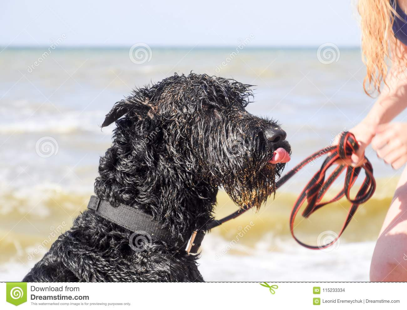 A black curly dog on a leash licks