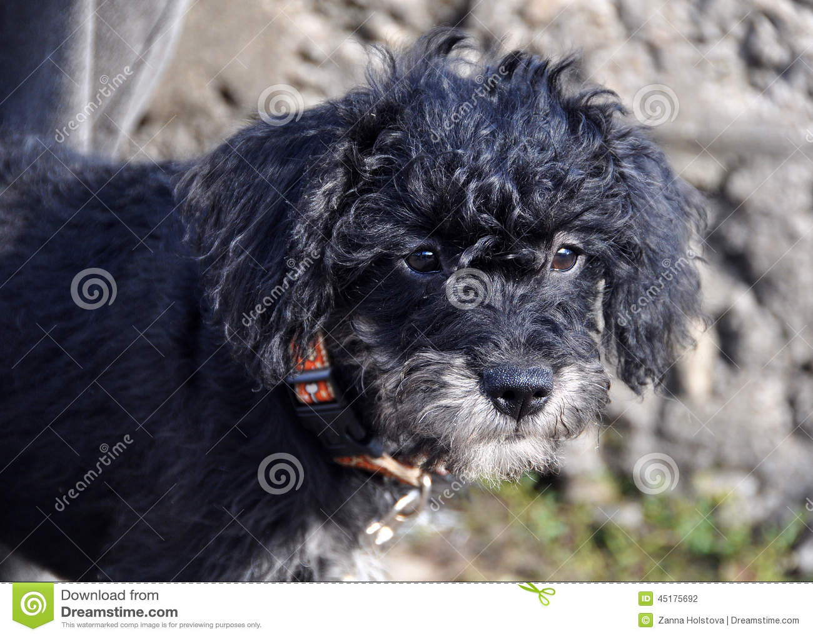 Black curly puppy
