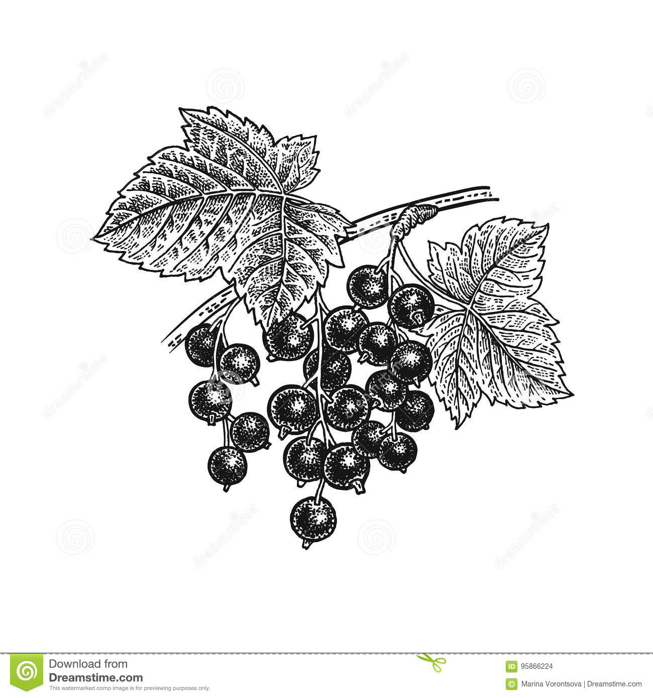 Black currant. Realistic hand drawing.