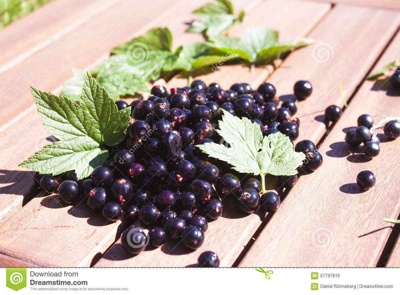 Black currant ribes nigrum