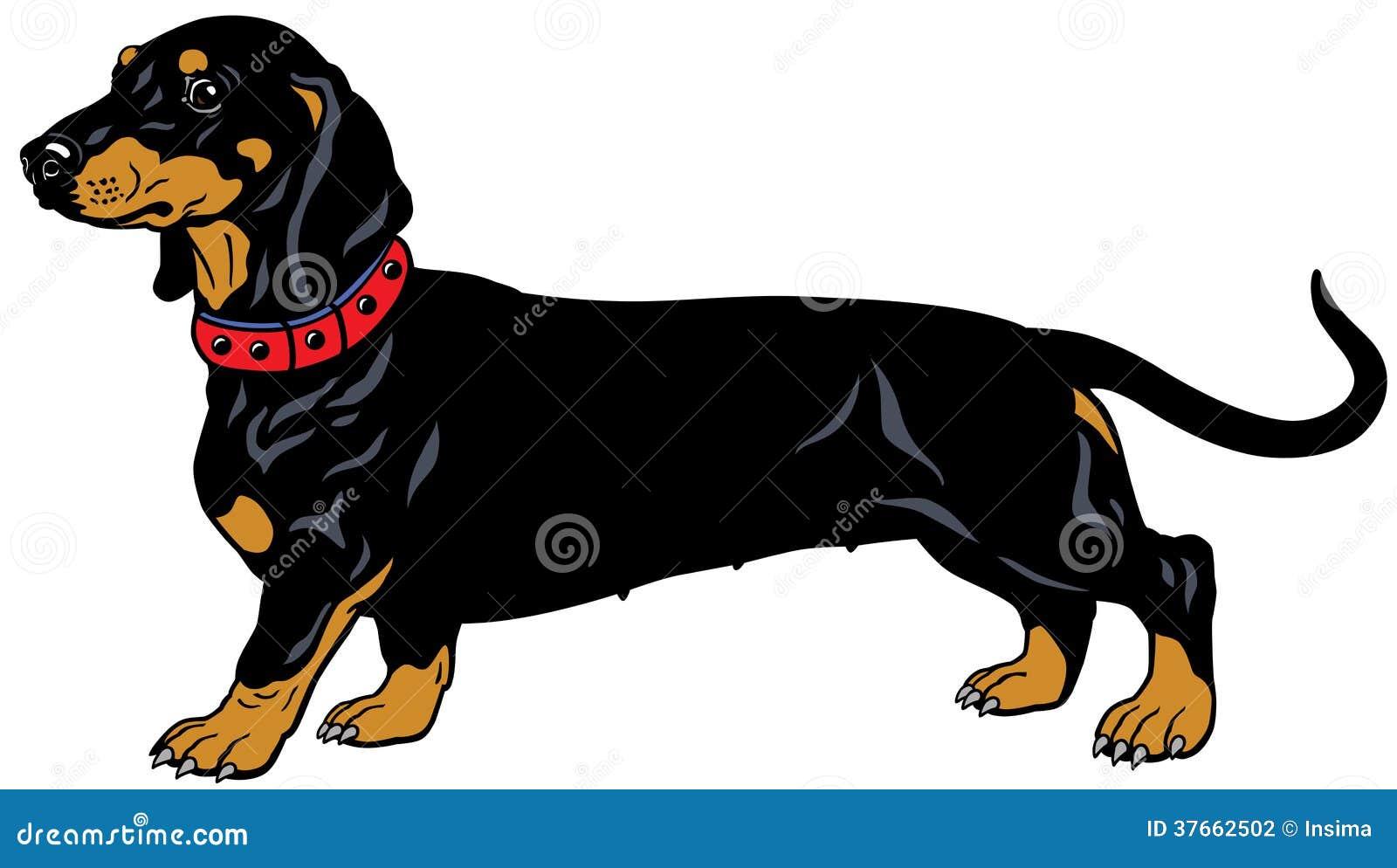 Black Dachshund Stock Vector Illustration Of Haired