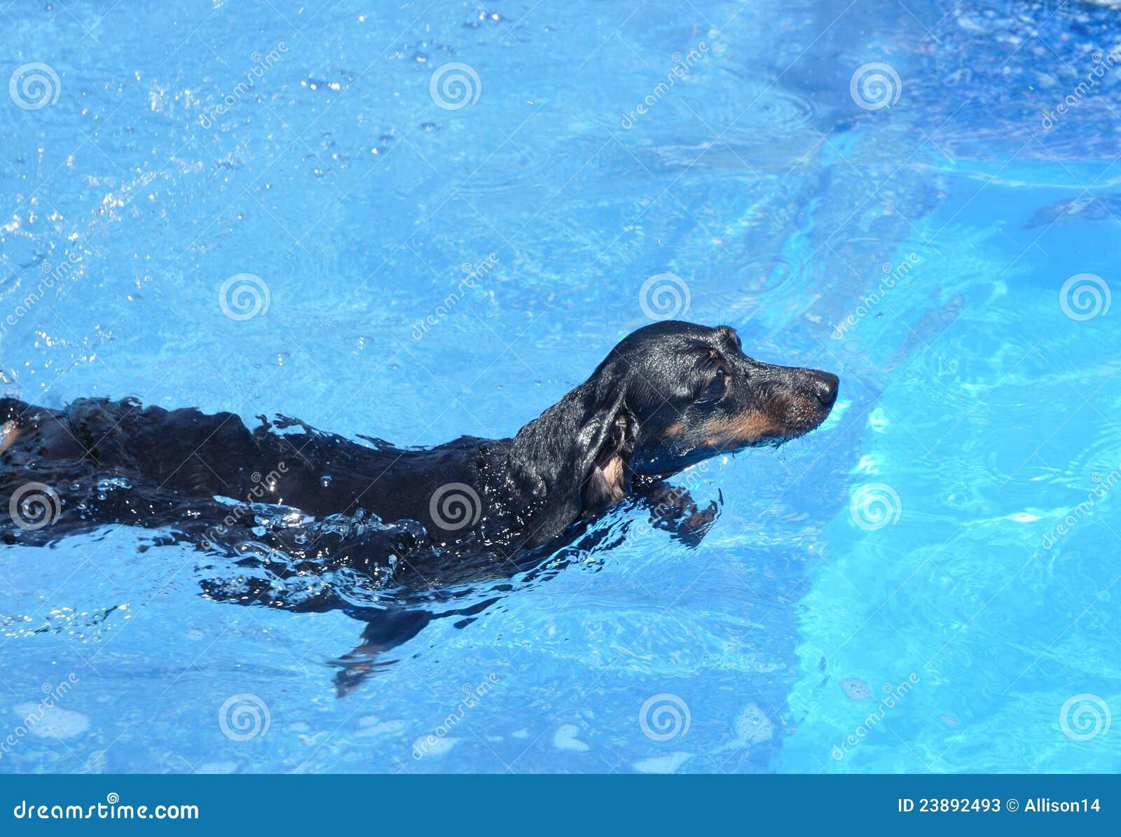 Black dachshund swimming stock photos image 23892493 for Swimming pools drank instrumental