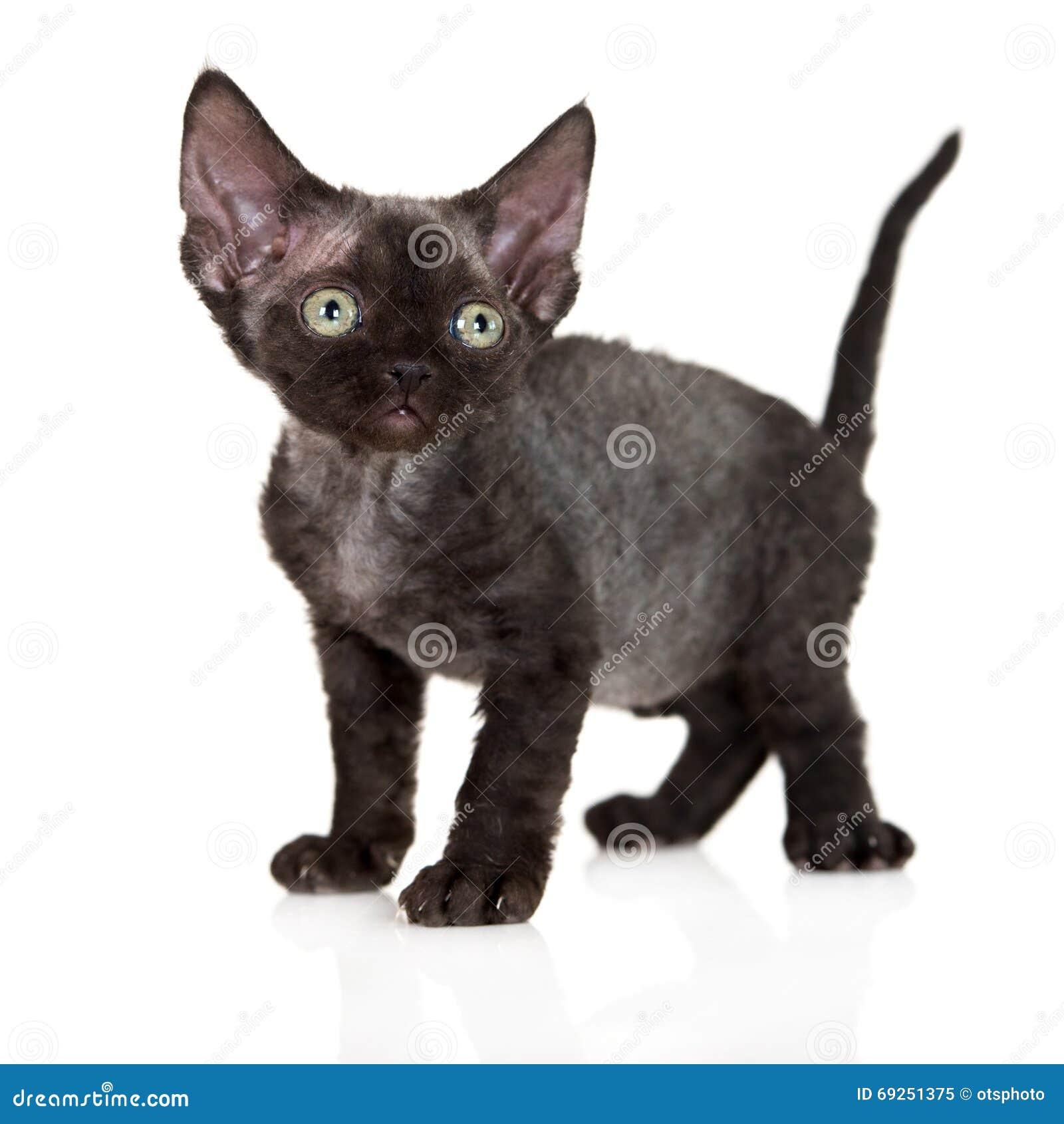 Black Devon Rex Kitten Stock Image Image Of Pedigreed