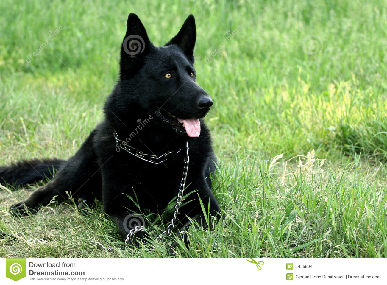 Black Dog Stock Images - Image: 2425504