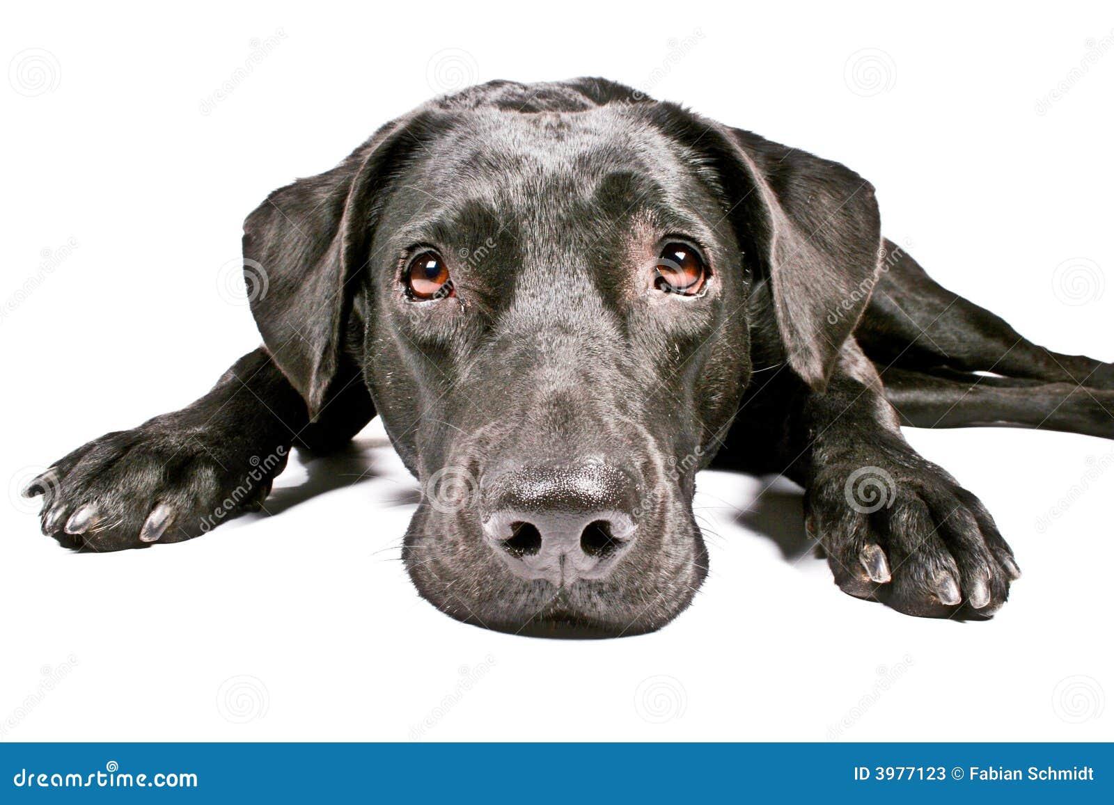 black dog looking sad iv stock photos - image: 3977123