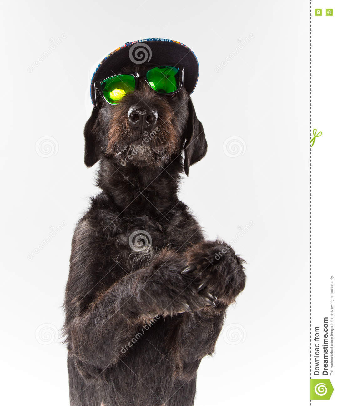 Black Dog Posed With Sunglasses And Cap. Stock Photo - Image of ...