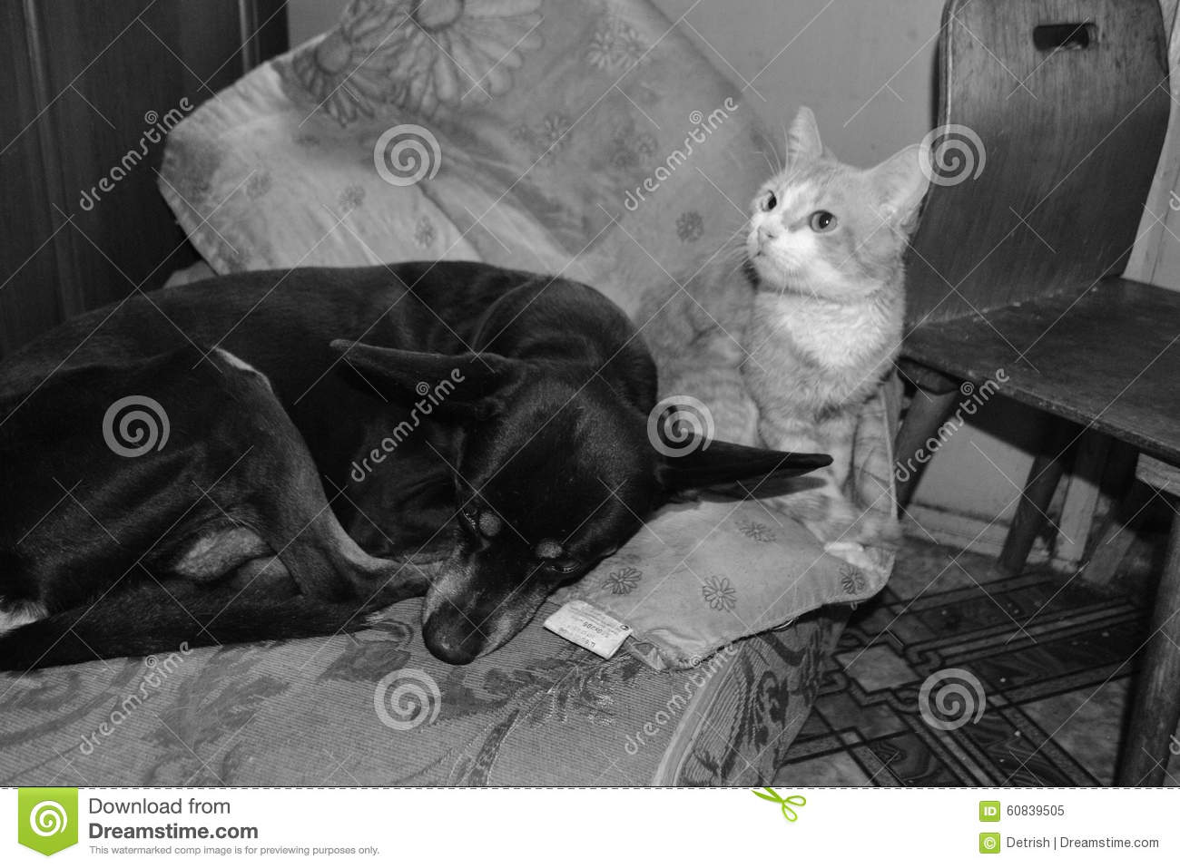 black dog and red cat sleeping together stock photo - image: 60839505