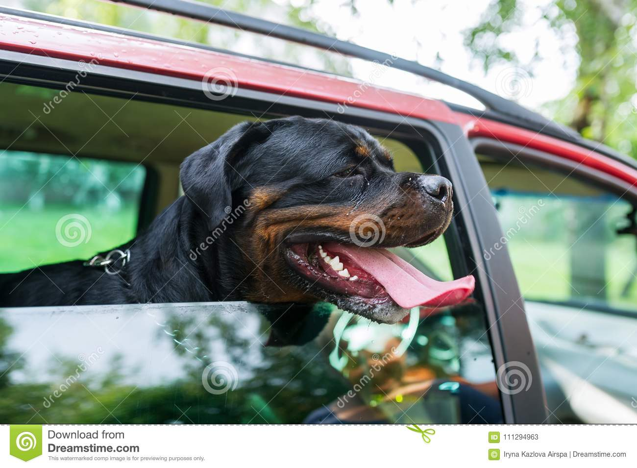 Black dog sit in the car and looks out of the window