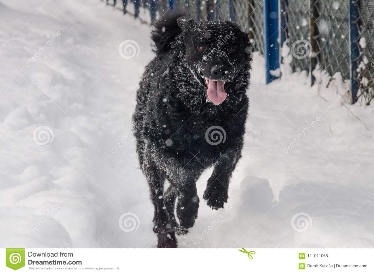A black dog in the snow
