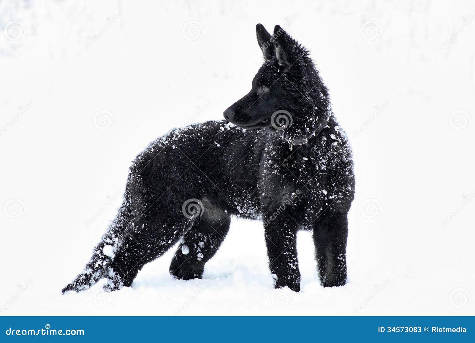 Black Dog In The Snow Stock Image Image Of Winter Black 34573083
