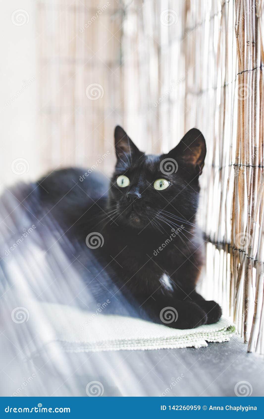 Black domestic cat enjoying morning sunlight. Selective focus