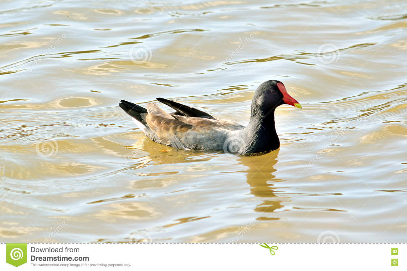 Black Duck swimming in the lake