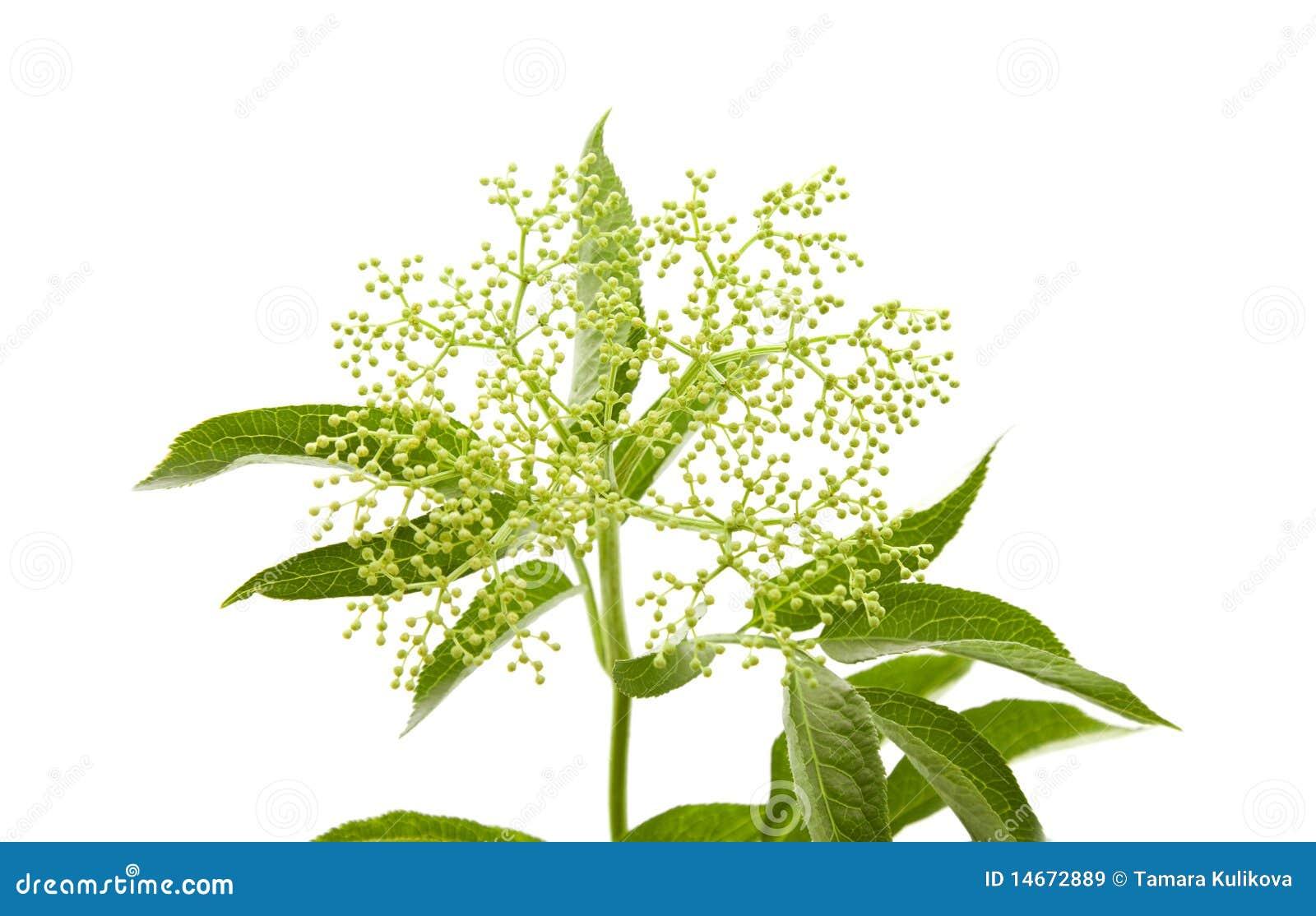 Download Black Elder, stock image. Image of flower, botany, isolated - 14672889