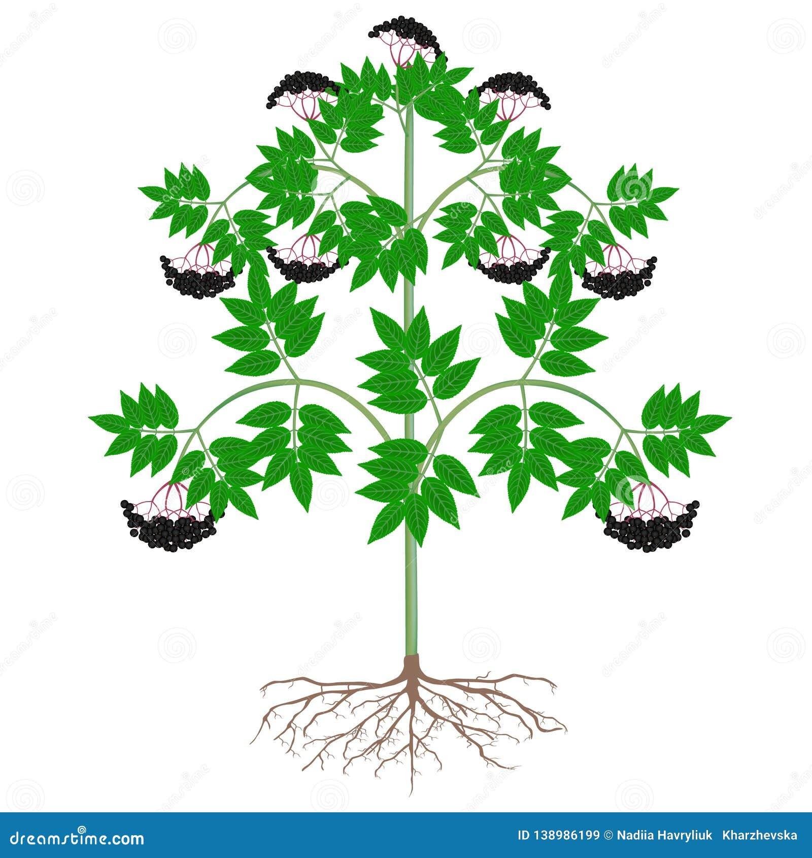 [Image: black-elderberry-plant-roots-berries-whi...986199.jpg]