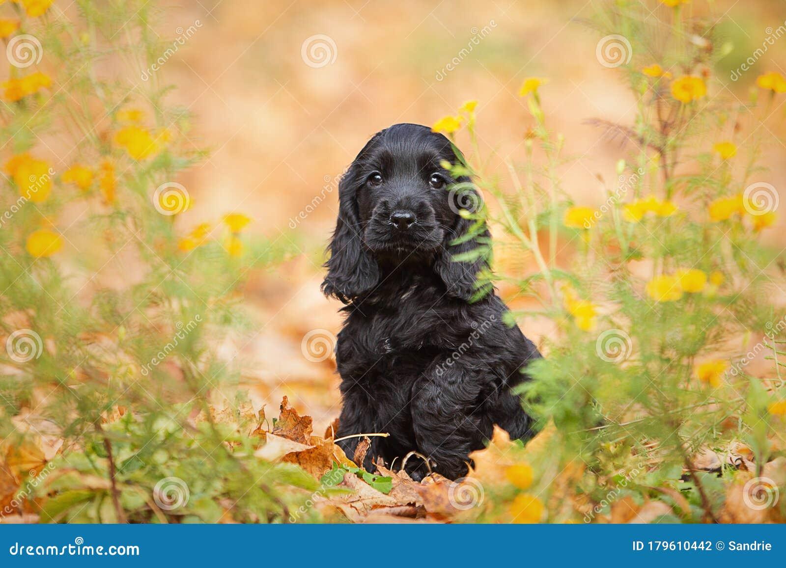 A Black English Cocker Spaniel Puppy Stock Photo Image Of Foliage Animal 179610442