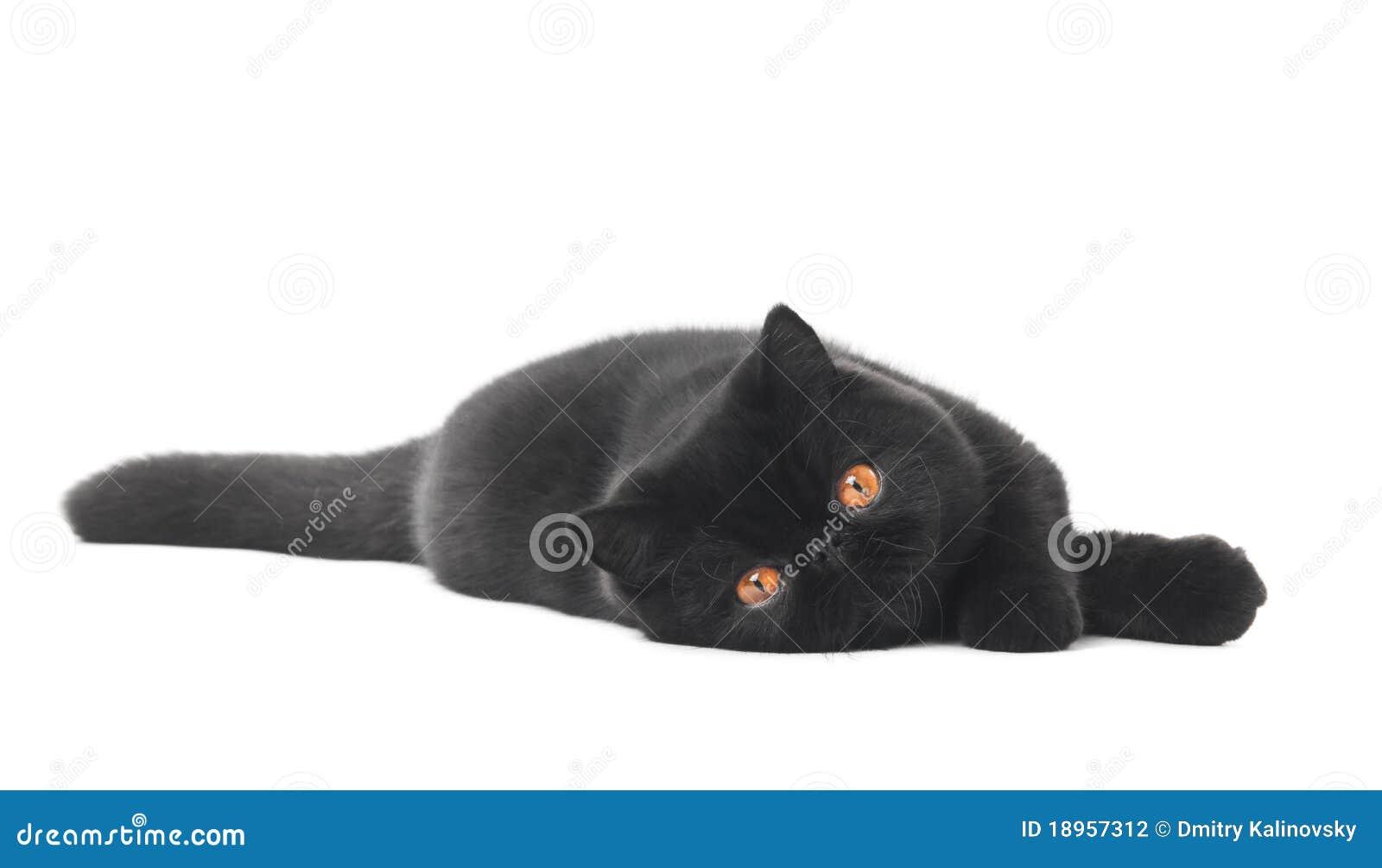 Black exotic shorthair kitty cat