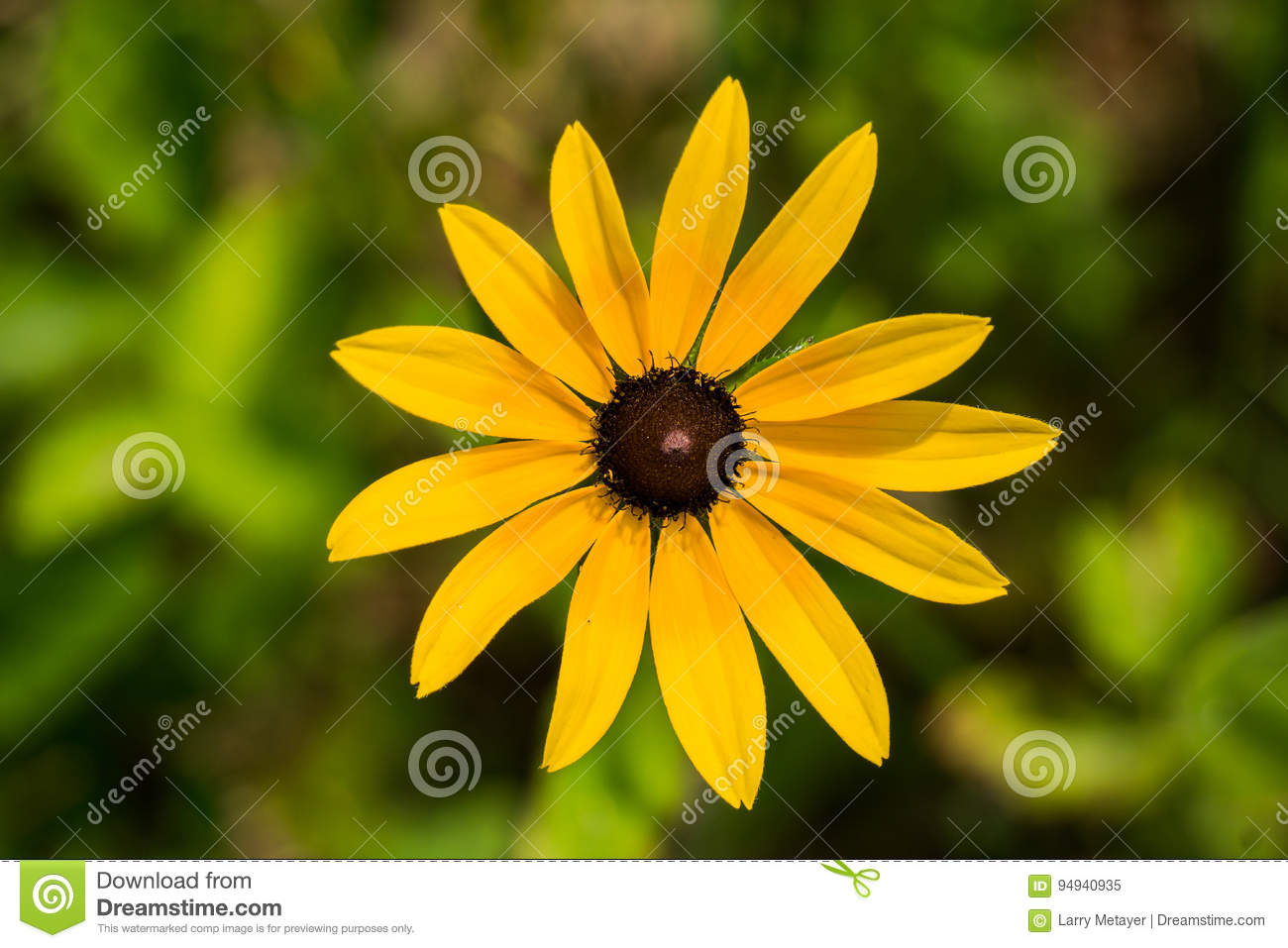 Black eyed susan rudbeckia hirta stock image image of brown black eyed susan a daisy like flower with showy golden yellow rays surrounding a brown cone shaped central disk izmirmasajfo