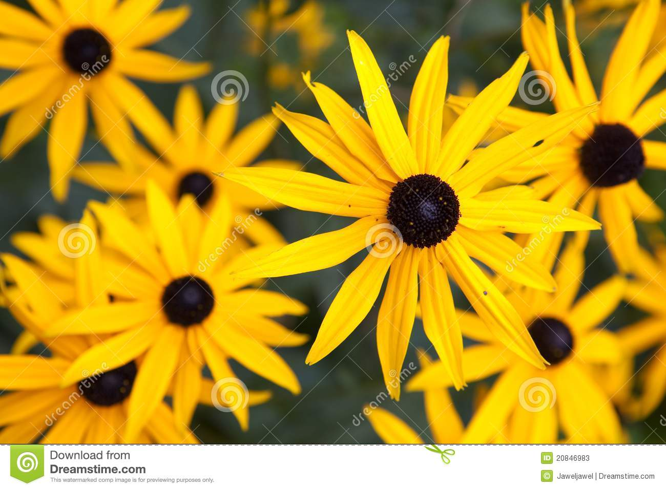 Black eyed susan stock photos image 20846983 Black eyed susans