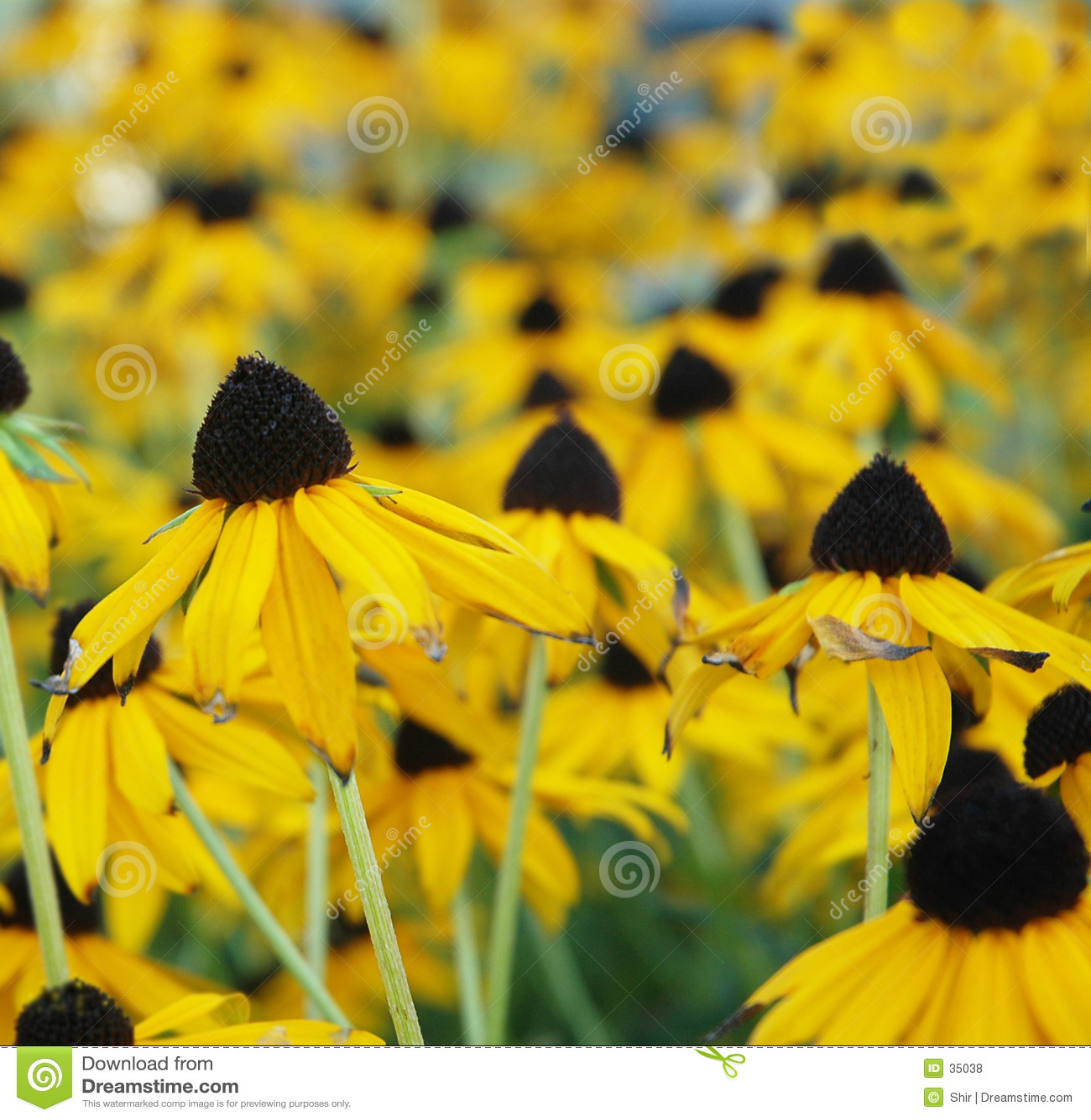 Black-Eyed Susan field