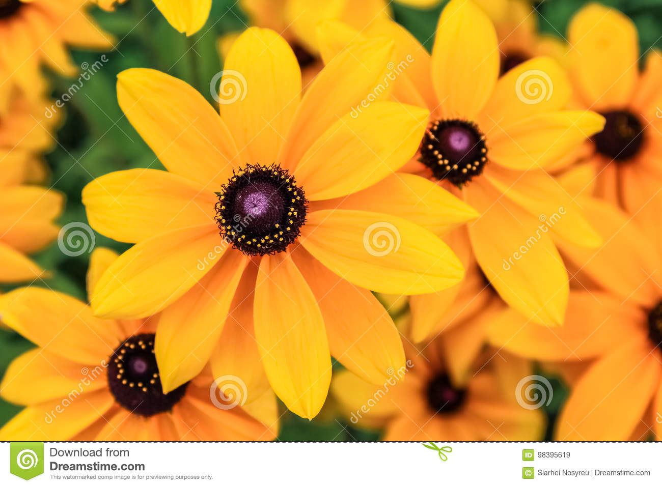 Black eyed susan, rudbeckia flowers.
