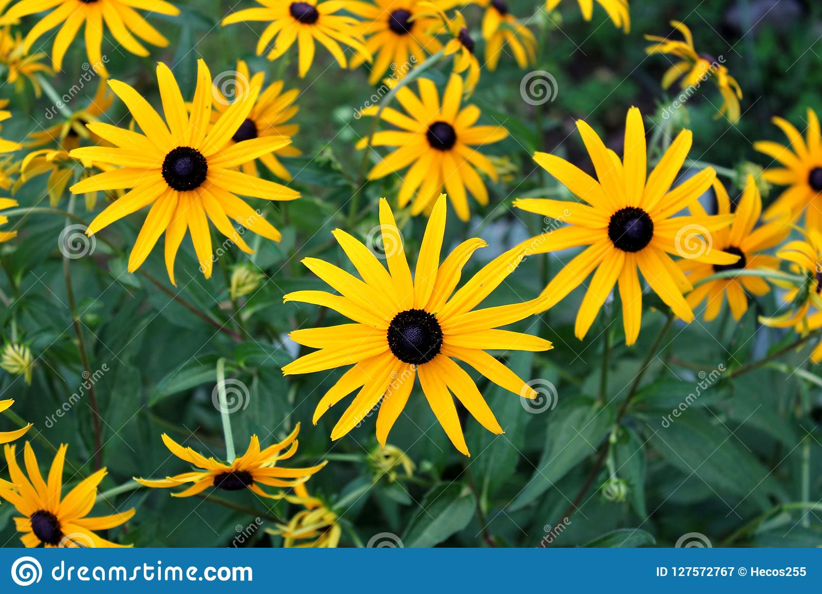 Black Eyed Susan Or Rudbeckia Hirta Fully Open And Blooming Bright Yellow Flowers With Black Center Planted In Local Garden Stock Image Image Of Land Center 127572767 A wide variety of daisy brown options are available to you, such my alibaba message center manage rfq my orders my account. https www dreamstime com black eyed susan rudbeckia hirta fully open blooming bright yellow flowers center planted local garden brown betty image127572767