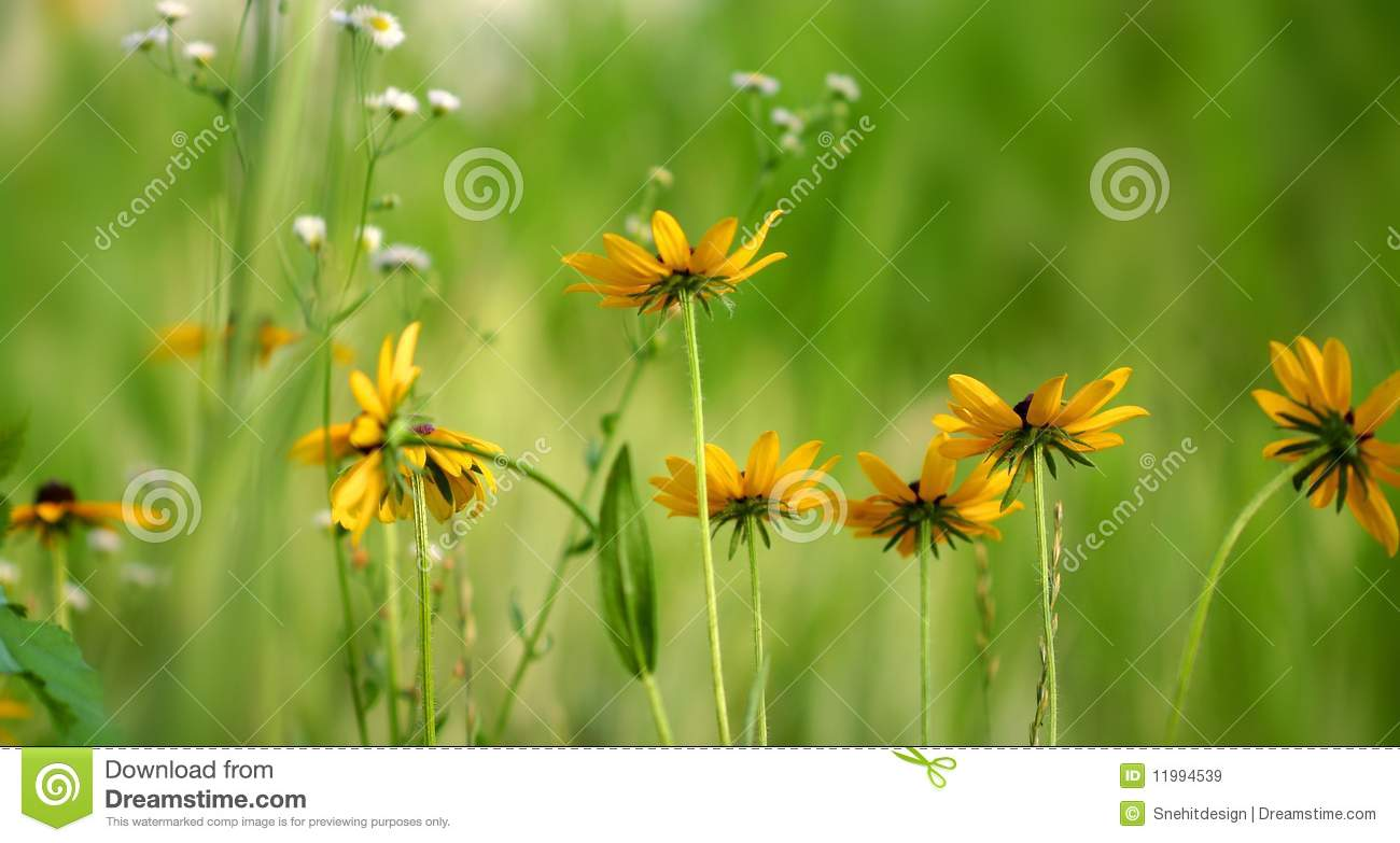 Black eyed susans royalty free stock images image 11994539 Black eyed susans