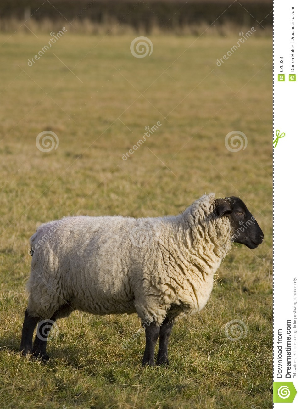 Black Faced Sheep In Profile Stock Photo - Image of mutton ...