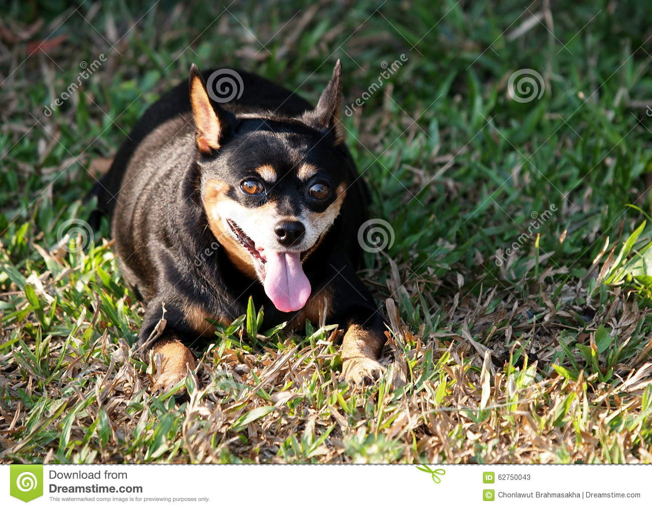 Fantastic Black Chubby Adorable Dog - black-fat-miniature-pinscher-portraits-happy-lovely-cute-dog-smiling-laying-green-grass-floor-making-funny-face-62750043  Graphic_164817  .jpg
