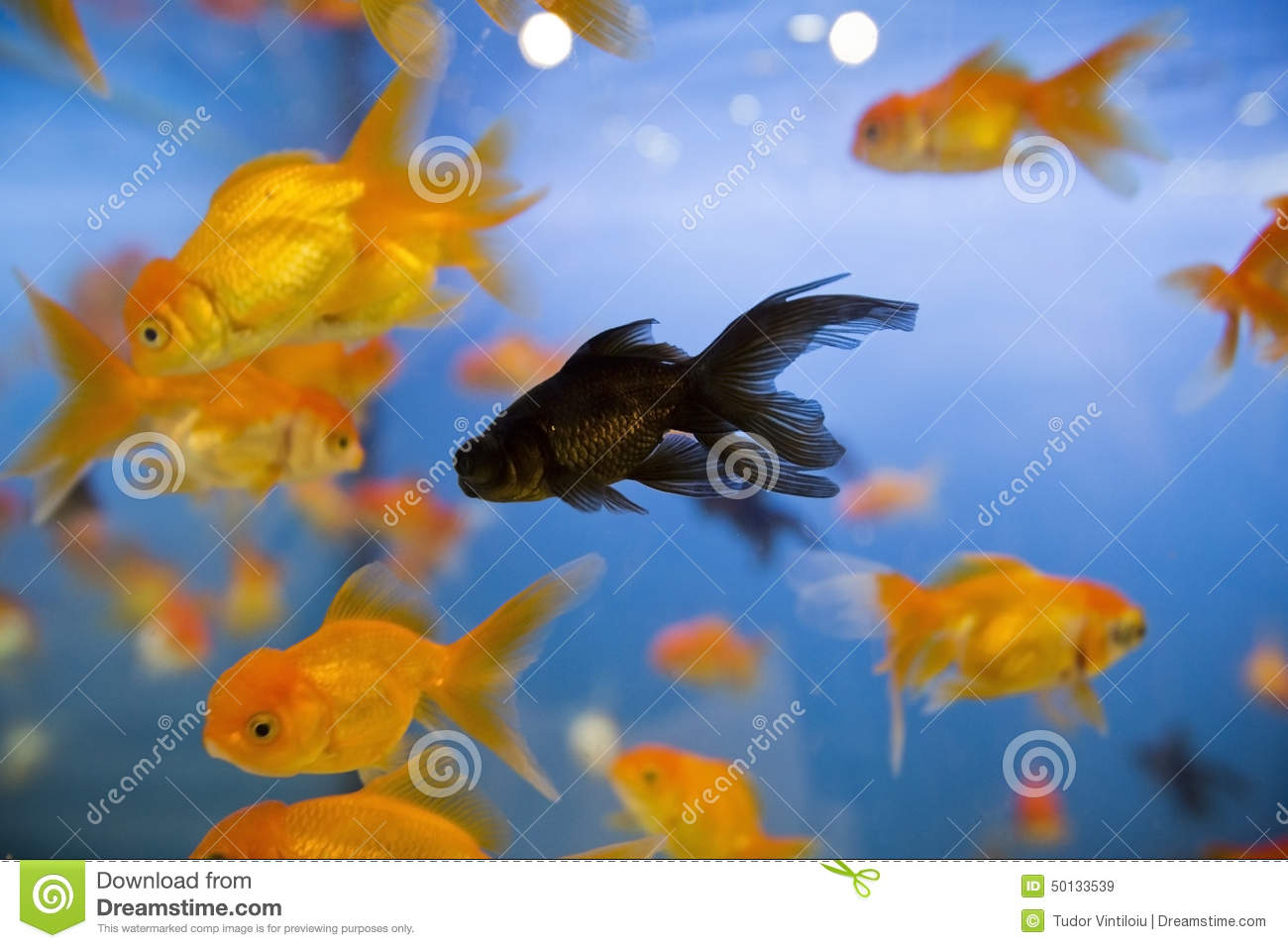 A Black Goldfish Swims In Large Fish Tank Full Of Regular