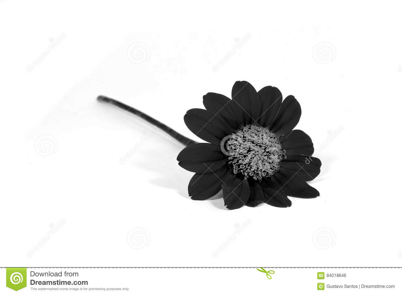 Black Flower Isolated White Stock Image