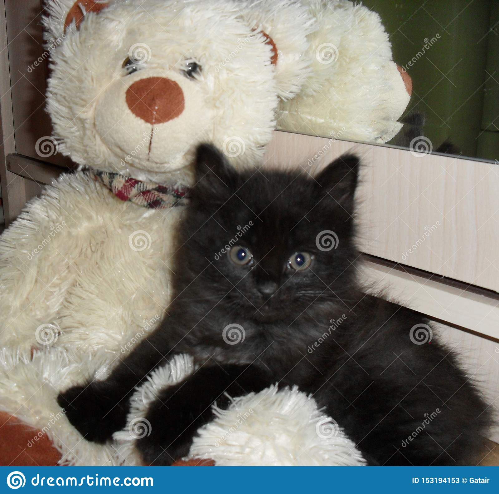 Black fluffy kitten sit with a white teddy bear