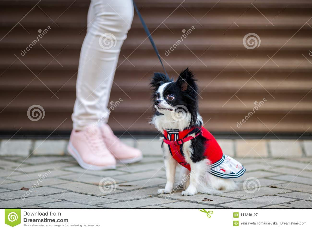 A black fluffy white, long-haired funny dog with emale sex with larger eyes the Chihuahua breed, dressed in red knitted dress. The
