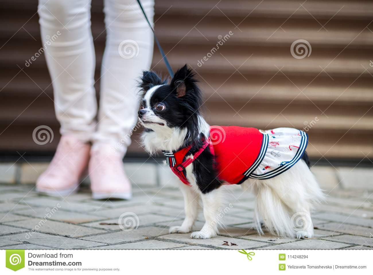 A black fluffy white, longhaired funny dog female sex with larger eyes, Chihuahua breed, dressed in red dress. animal stands at fu