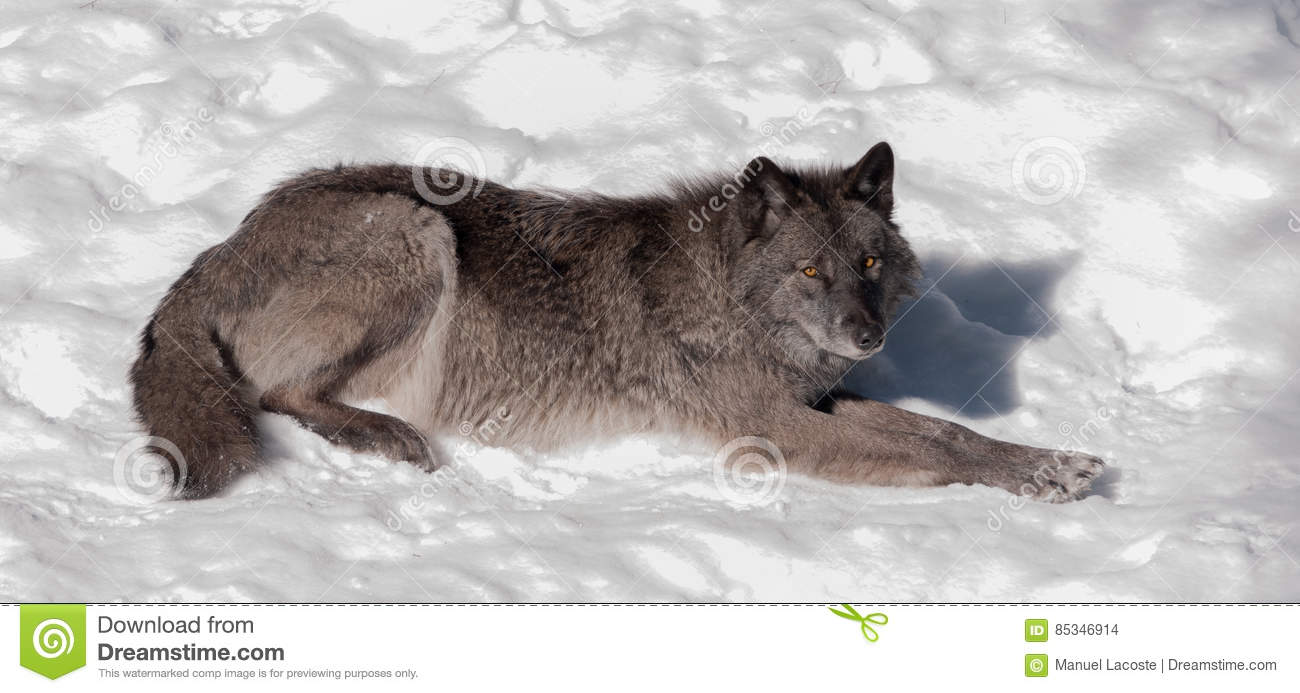 Black fox in the snow stock photo  Image of face, nature