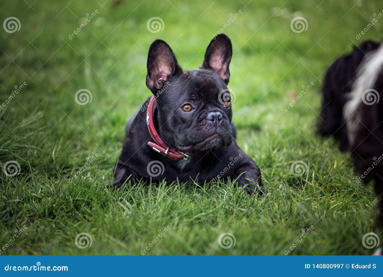 Black French Bulldog Puppy Laying In Gras Stock Image Image Of Purebred Bulldog 140800997