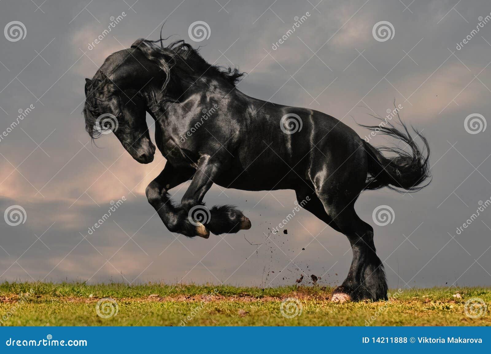 Black Friesian Horse Stock Photo Image Of Active Black 14211888